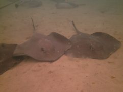 Tons of stingrays!